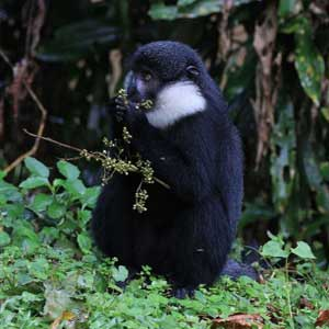lhoest monkey uganda, chimpanzee trekking uganda, 7 days uganda safari, 7 days wildlife safari
