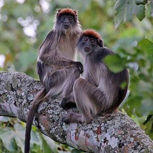 red tailed monkey uganda, chimpanzee trekking uganda, 7 days uganda safari, 7 days wildlife safari