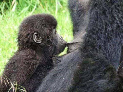 4 days Gorilla trekking, Chimpanzee trekking uganda, Primate safari, Best of Gorilla Chimpanzee and Primate tour, Gorilla trekking tours, gorilla trekks, Chimpanzee tracking tour, best Chimpanzee tracking in africa