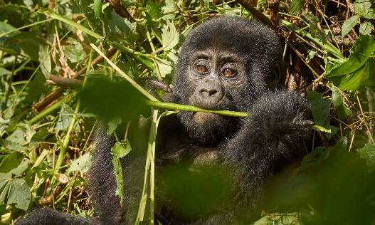 uganda gorilla safari, gorilla trekking uganda uganda chimpanzee safari, 7 days uganda safari gorillas and wildlife,, gorilla and chimpanzee trekking uganda, gorilla trekking bwindi, tree climbing lions, queen elizabeth national park, Uganda chimpanzee trekking, kazinga channel tour, chimpanzee tracking, uganda chimps, 7 days uganda tour, 7 days uganda safari, murchison falls national park, 7 day uganda safari, 7 day uganda itinerary, 7 day uganda tour itinerary, top of the falls view, boat cruise on river nile, uganda hippos, uganda elephants, uganda wildlife safari, chimpanzee trekking kibale, ziwa rhino sanctuary