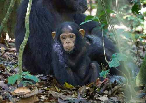 3 days chimpanzee trekking kibale, 3 days chimpanzee tracking kibale, 3 days chimpanzee trekking uganda, 3 days chimpanzee tracking uganda, chimpanzee trekking uganda, chimpanzee tracking kibale, chimpanzee trekking uganda, chimpanzee tracking uganda, chimpanzee tour, chimpanzee safari, chimpanzee and big five safari
