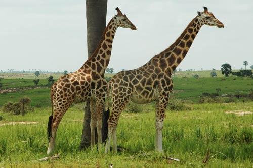 2 days murchison falls safari, giraffes in murchison falls, Activities in murchison falls national park, murchison falls tour<br /> , uganda adventure safaris