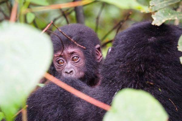 2 days uganda gorilla trekking, uganda gorilla trekking from kigali, kigali to bwindi gorilla trekking, gorilla trekking tours, uganda gorilla trekking tours, mountain gorillas, gorilla trekking, gorilla tracking