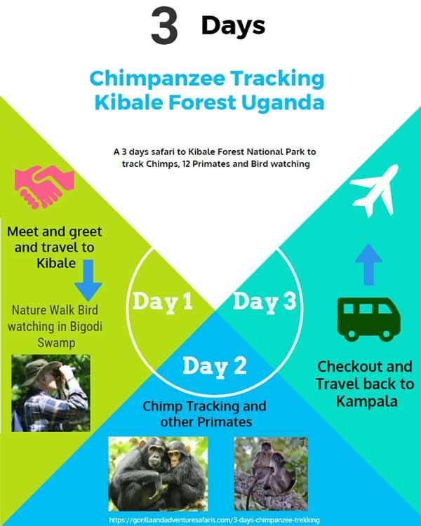 3 days chimpanzee trekking kibale uganda, 3 days chimpanzee tracking kibale uganda, kibale chimpanzee trekking uganda, kibale chimpanzee tracking, chimp trekking kibale forest, chimpanzee habituation experience, kibale forest uganda, uganda chimpanzee