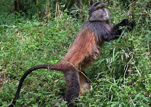 golden monkey trekking, golden monkey trekking uganda, golden monkey trekking rwanda, golden monkey habituation safari, golden monkey tracking uganda, golden monkey tour uganda