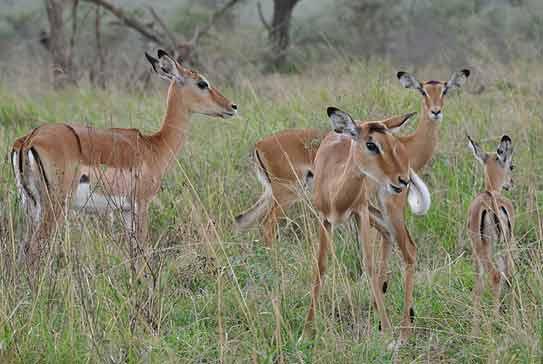 akagera national park wildlife, rwanda impala, rwanda wildlife safari, gorilla trekking rwanda tour, golden monkey trekking rwanda, golden monkey tracking rwanda, golden monkey safari, golden monkey tour rwanda