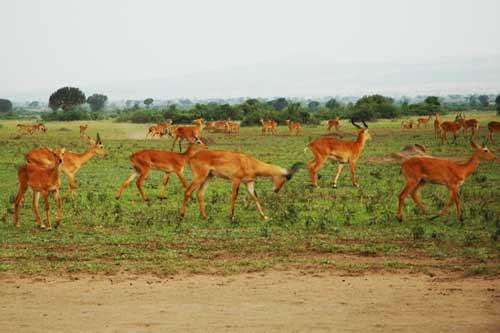 uganda big five safaris safari, uganda adventure safaris, murchison falls national park safaris, 3 days murchison falls safari, uganda lions