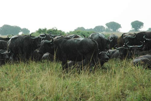 uganda buffalo, 5 days uganda tour, 5 days uganda safari, uganda hippos, queen elizabeth safari, 5 days queen elizabeth safari, uganda elephants, uganda wildlife safari, uganda gorilla safari, gorilla trekking bwindi, 5 days gorilla and wildlife tour