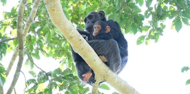 10 day Chimpanzee trekking, Uganda Lions Tour, chimpanzee trekking kibale, tree climbing lions tours, ishasha lions, 10 day uganda tour, 10 day uganda safari, 10 day itinerary uganda, uganda birding safaris, Chimpanzee tracking tour, best Chimpanzee tracking in africa, Uganda group tour, uganda group safaris, uganda group tours, uganda primate safaris