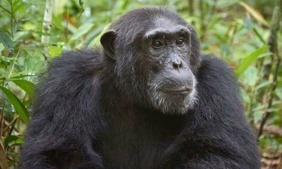 7 days uganda safari, bigfive uganda safari, uganda 7 day tour, uganda 7 day trip, chimp trekking safaris, chimpanzee tracking kibale, chimpanzee trekking uganda