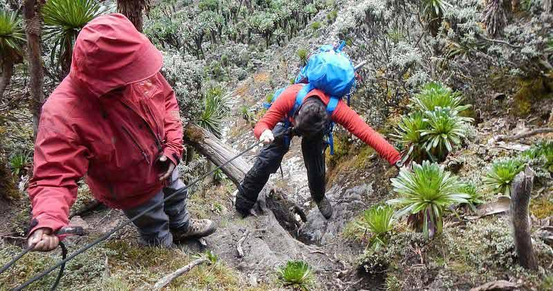 rwenzori vegetation, groundsel, rwenzori mountains climbing, rwenzori mountaineering services, mt rwenzori trekking, mt rwenzori climbing, mt rwenzori hiking, mt rwenzori trekking tour, mountain rwenzori climbing, rwenzori mountains trekking, rwenzori mountains hiking, rwenzori mountains climbing tours, rwenzori mountains trekking tours, rwenzori mountains hiking tours, rwenzori mountains climbing safaris