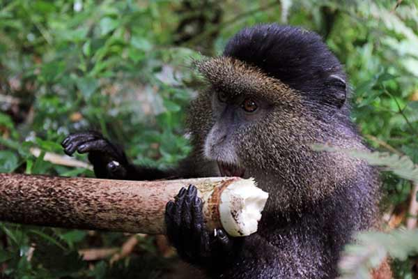 golden monkey trekking rwanda, golden monkey tracking rwanda, golden monkey safari, golden monkey tour rwanda, 10 day adventure safari rwanda