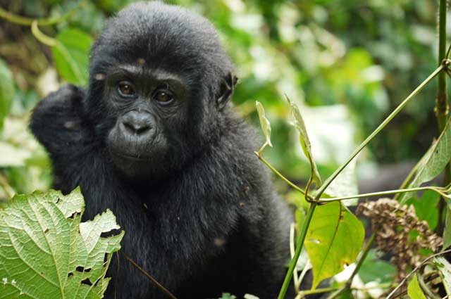 4 days uganda safari, 4 days uganda tour, 4 day primate tour uganda, 4 days Gorilla trekking, Chimpanzee trekking uganda, gorilla and chimpanzee trekking uganda, gorilla and chimp tour, gorilla and chimp safari, 4 days Gorilla trekking, Chimpanzee trekking uganda, Primate safari, Best of Gorilla Chimpanzee and Primate tour, Gorilla trekking tours, gorilla trekks, Chimpanzee tracking tour, best Chimpanzee tracking in africa