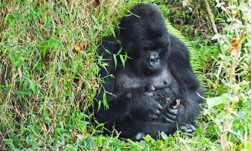 Gorrila trekking in Rwanda, Best of Gorilla and Primate tour in Rwanda, birding safari in Rwanda, the pearl of africa safari, Gorilla trekking tours uganda, best Gorilla trekking tours Rwanda, gorilla trekks uganda, gorilla tracking in uganda, uganda wildlife tours, uganda wildlife safaris, best gorilla trekking, Chimpanzee tracking in uganda
