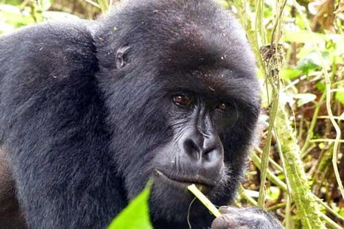 2 days gorilla trekking rwanda, 1 day gorilla trek rwanda, budget gorilla trekking rwanda, rwanda gorillas, gorilla safaris, gorilla trek africa