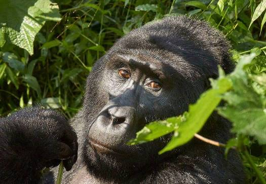gorilla trekking bwindi, gorilla trekking uganda, uganda gorilla, gorilla safari, uganda gorilla safari, 5 days uganda tour, 5 days uganda safari, uganda wildlife safari, uganda gorilla safari, gorilla trekking bwindi, 5 days gorilla and wildlife tour