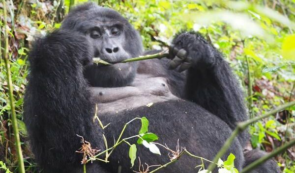 3 days gorilla tracking bwindi, 3 days gorilla trekking bwindi, 3 days Gorilla trek Uganda, 3 days uganda gorilla safari, 3 day gorilla trekking uganda, 3 days gorilla tracking Uganda, Uganda gorilla trekking, Gorilla trekking tours uganda, gorilla treks uganda, uganda gorilla safaris, gorilla trekking Uganda, gorilla tracking in uganda