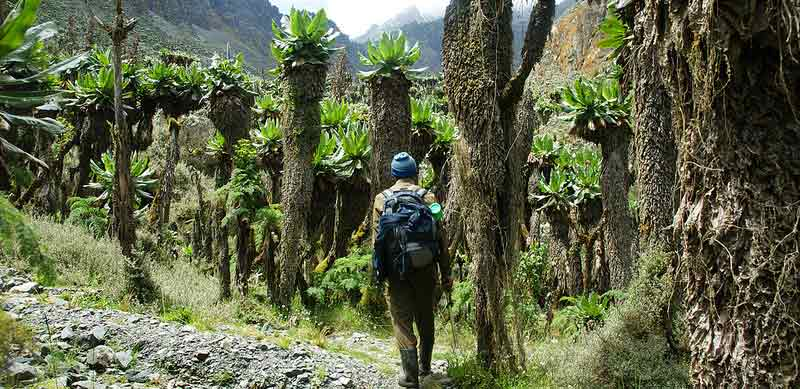 giant groundsel, rwenzori vegetation, groundsel, rwenzori mountains climbing, rwenzori mountaineering services, mountain rwenzori climbing, rwenzori mountains trekking, mt rwenzori trekking, mt rwenzori climbing, mt rwenzori hiking, mt rwenzori trekking tour, rwenzori mountains hiking, rwenzori mountains climbing tours, rwenzori mountains trekking tours, rwenzori mountains hiking tours, rwenzori mountains climbing safaris
