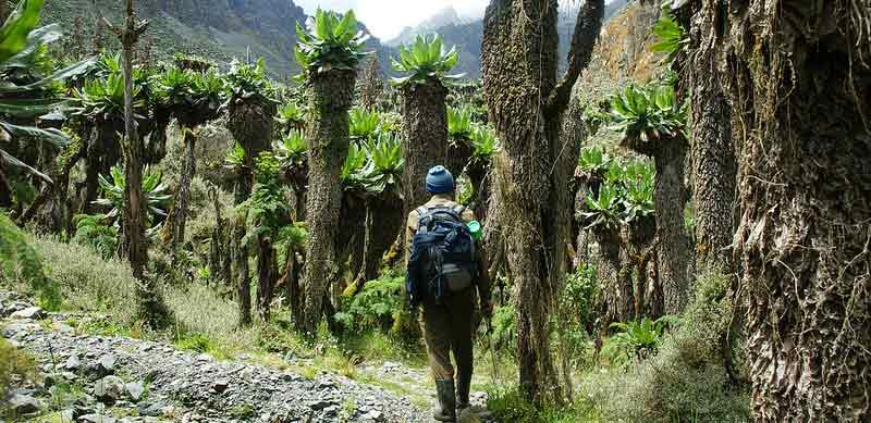 giant groundsel, rwenzori vegetation, groundsel, rwenzori mountains climbing, rwenzori mountaineering services, mountain rwenzori climbing, rwenzori mountains trekking, mt rwenzori trekking, mt rwenzori climbing, mt rwenzori hiking, mt rwenzori trekking tour, rwenzori mountains hiking, rwenzori mountains climbing tours, rwenzori mountains trekking tours, rwenzori mountains hiking tours, rwenzori mountains climbing safaris