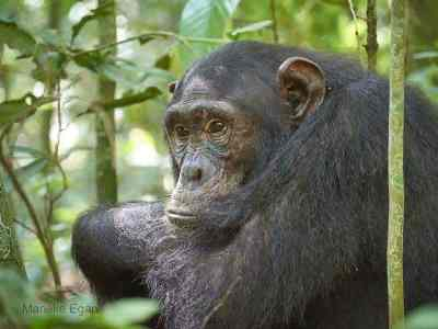 Uganda chimpanzee trekking, chimpanzee tracking, uganda chimps, 8 days uganda tour, 8 days uganda safari, uganda hippos, uganda elephants, uganda wildlife safari, uganda gorilla safari, uganda chimpanzee safari, gorilla and chimpanzee trekking uganda, gorilla trekking bwindi, chimpanzee trekking kibale