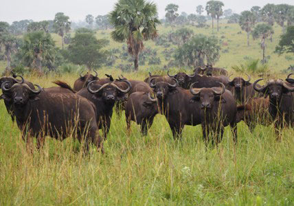 kidepo national park safari, kidepo tours, kidepo safari, kidepo valley national park tour, kidepo national park animals, kidepo national park activities, kidepo national park buffalo herd, kidepo national park tours