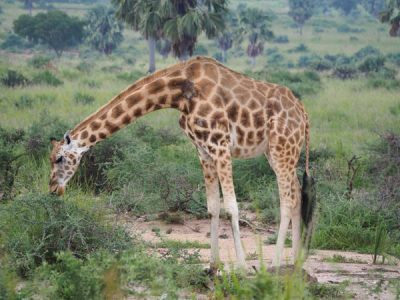 kidepo tours, kidepo safari, kidepo valley national park tour,kidepo national park animals, kidepo national park activities, kidepo national park rothschild giraffe, kidepo national park tours