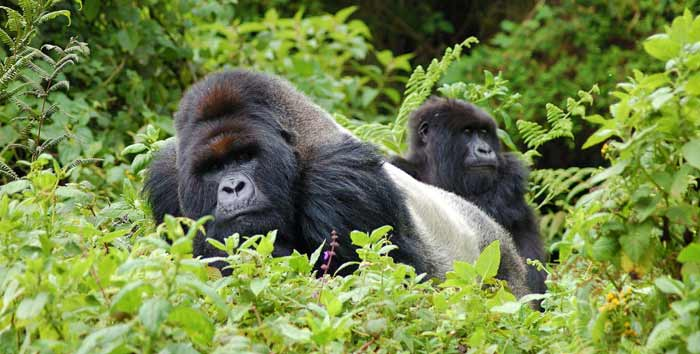 3 days gorilla tracking bwindi, 3 days gorilla trekking bwindi, 3 days Gorilla trek Uganda, 3 days gorilla tracking Ugandai, Uganda gorilla trekking, Gorilla trekking tours uganda, gorilla treks uganda, uganda gorilla safaris, gorilla trekking Uganda, gorilla tracking in uganda