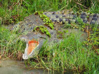 kidepo national park and murchison falls tour, crocodiles in murchison falls