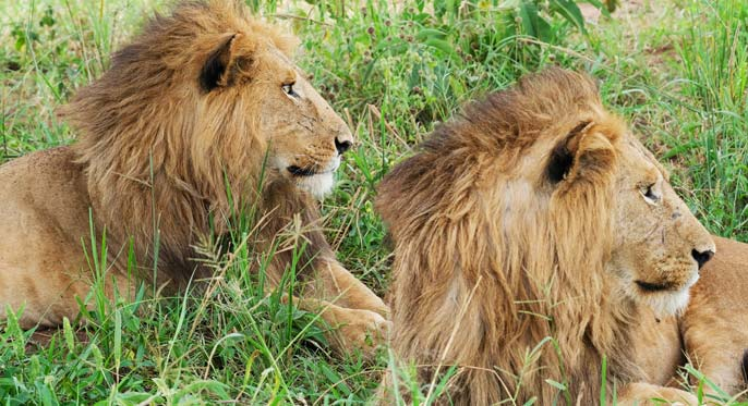 4 days murchison falls safari, budongo chimpanzee tracking, uganda lions, uganda big five animals safaris, uganda adventure safaris, murchison falls national park safaris