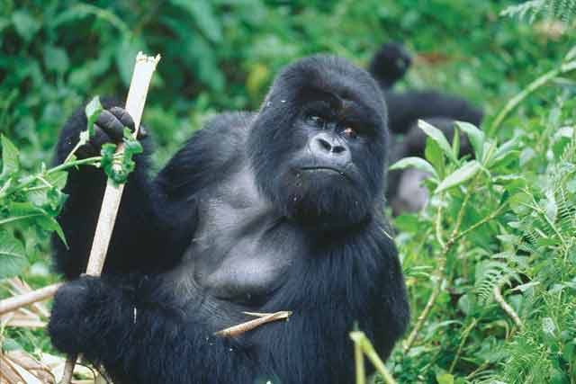 gorilla trekking uganda, gorilla safari, gorilla trekking uganda, gorilla trekking bwindi, gorilla tracking tour, golden monkey habituation safari, golden monkey tracking uganda, golden monkey tour uganda, 4 days golden monkey tour, 4 days golden monkey habituation, 4 days golden monkey habituation and gorilla trekking safari