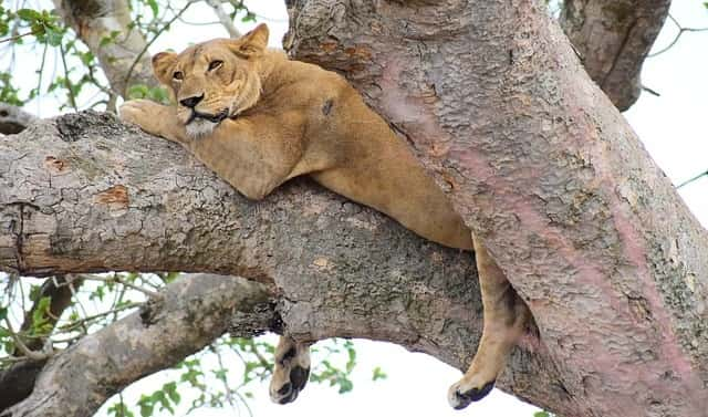 tree climbing lions, 10 day itinerary Uganda, 10 day Uganda itinerary queen elizabeth national park, 10 days uganda tour, 10 days uganda safari, uganda wildlife safari