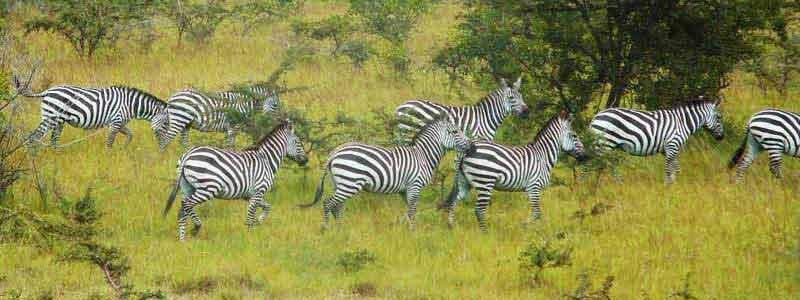 1 day lake mburo safari, 1day lake mburo tour, lake mburo 1 day safari, 1 day lake mburo national park tour,day trips, lake mburo national park wildlife, lake mburo national park zebras, ugandan zebras