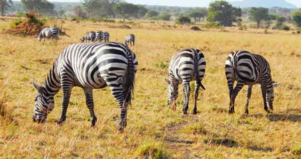 Lake Mburo safari, lake mburo national park wildlife, lake mburo national park zebras, ugandan zebras