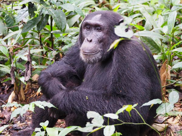 budget gorilla trekking tours, uganda budget gorilla trekking, 7 days uganda safari, gorilla and chimpanzee trekking uganda, uganda wildlife safari, gorilla trekking tour, uganda gorilla tracking safari, chimpanzee tracking tour, gorilla trips, chimpanzee trekking kibale