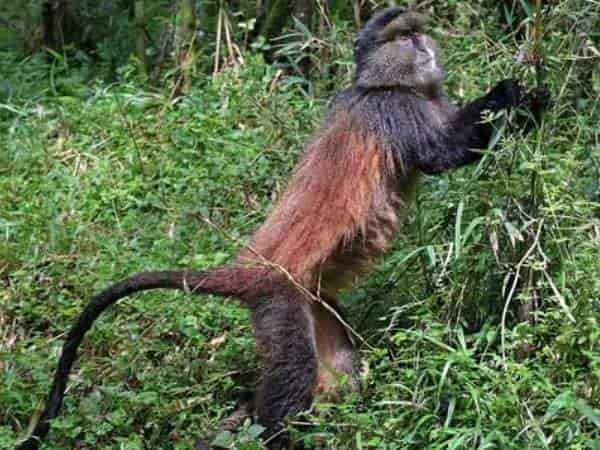 budget gorilla trekking tours, golden monkey tours rwanda, rwanda golden monkey, gorilla and golden monkey safari rwanda, uganda budget gorilla trekking, gorilla and chimpanzee trekking uganda, uganda wildlife safari, gorilla trekking tour, uganda gorilla tracking safari, chimpanzee tracking tour, gorilla trips, chimpanzee trekking kibale