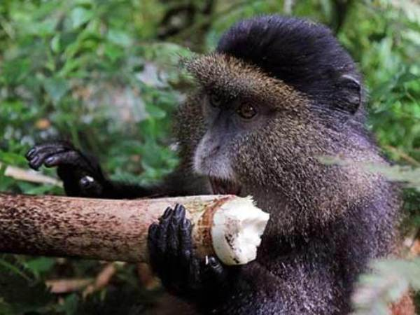budget gorilla trekking tours, uganda budget gorilla trekking, golden monkey trekking, gorilla trekking in mgahinga gorilla park, golden monkey habituation, gorilla and golden monkey trekking uganda, golden monkey trekking uganda