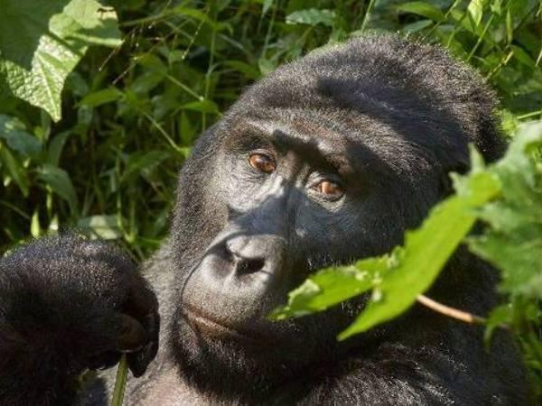 gorilla and chimpanzee trekking uganda, uganda wildlife safari, gorilla trekking tour, uganda gorilla tracking safari, chimpanzee tracking tour, gorilla trips, chimpanzee trekking kibale