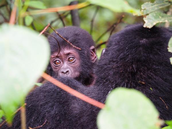 budget gorilla trekking tours, uganda budget gorilla trekking, 5 days uganda, 5 days gorilla and chimp tracking, chimpanzee trekking, gorilla trekking tour 5 days, 5 days Uganda safari