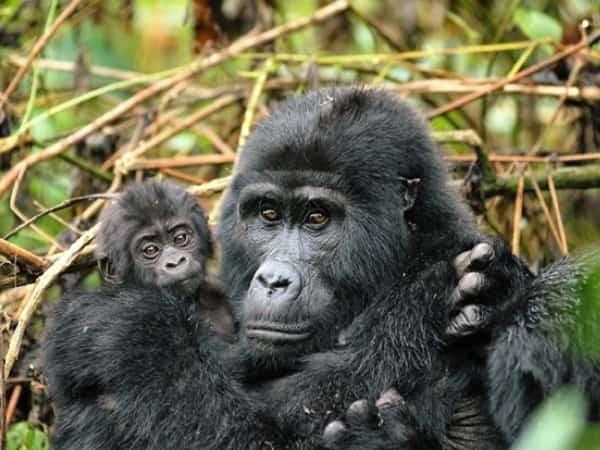budget gorilla trekking tours, Rwanda budget gorilla trekking, 2 days gorilla trekking rwanda, gorilla trekking tour, Rwanda gorilla trekking, gorilla trips, gorilla tours, gorilla tracking uganda, 2 days gorilla trek Rwanda