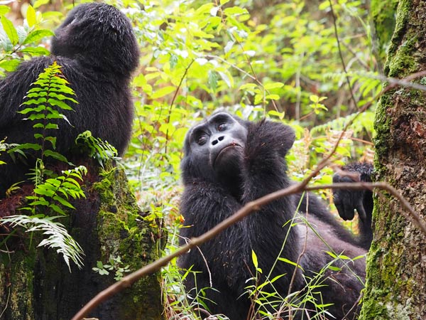 budget gorilla trekking tours, uganda budget gorilla trekking ,7 days queen elizabeth, 7 days uganda safari, gorilla and chimpanzee trekking uganda, uganda wildlife safari, gorilla trekking tour, uganda gorilla tracking safari, chimpanzee tracking tour, gorilla trips, chimpanzee trekking kibale, 7 days queen elizabeth