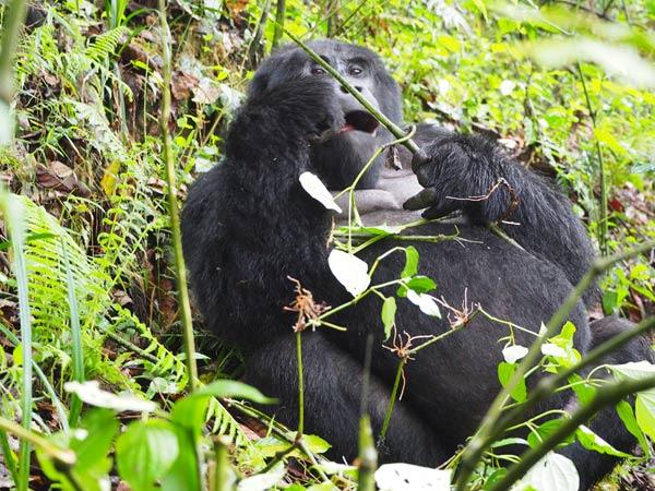 3 days gorilla trekking bwindi, gorilla trekking tour, uganda gorilla trekking, gorilla trips, gorilla tours, gorilla tracking uganda