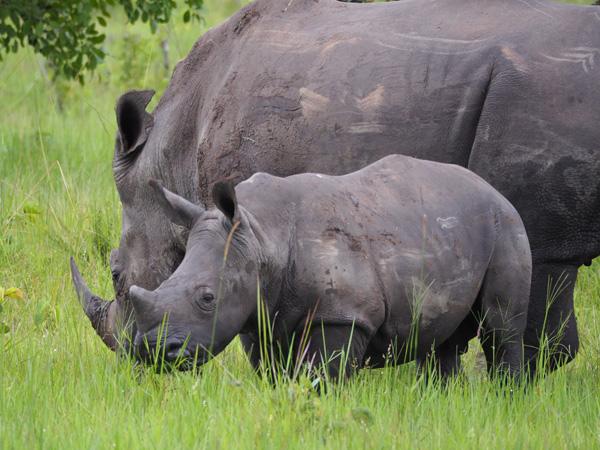 15 days gorilla trekking bwindi, gorilla trekking tour, 15 days uganda safari, chimpanzee tracking kibale, tree climbing lions, uganda safari, uganda tours, uganda tour operators, uganda gorilla trekking, gorilla trips, gorilla tours, gorilla tracking uganda