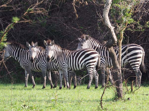 uganda safaris, uganda wildlife tours, uganda tours, zebras in lake mburo national park