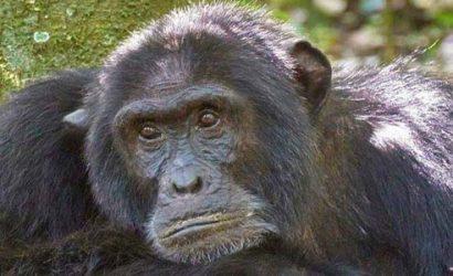 2 days chimpanzee trekking kibale, 2 days chimpanzee trekking uganda, 2 days chimpanzee tracking kibale, 2 days chimpanzee tracking Uganda, chimpanzee tracking Uganda, chimpanzee tracking kibale national park, 2 days chimpanzee trekking kibale forest national park, chimp tracking Uganda, Uganda chimps, chimp trekking Uganda, chimp trek Uganda, chimp trek kibale