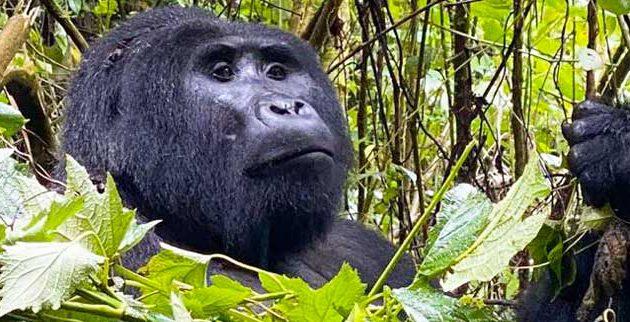 gorilla and queen elizabeth tour, 4 days uganda gorillas and queen elizabeth tour, gorilla trekking bwindi, gorilla trekking uganda, uganda gorilla, gorilla safari, uganda gorilla safari, 4 days uganda tour, 4 days uganda safari, uganda wildlife safari, uganda gorilla safari, gorilla trekking bwindi, 4 days gorilla and wildlife tour, 4 days gorilla trekking, 4 days gorilla trekking and wildlife safari