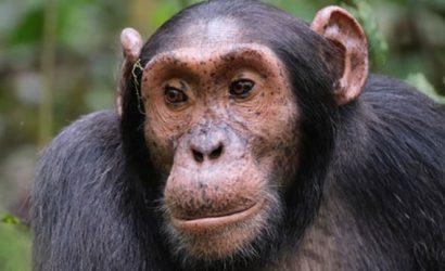 5 days Chimpanzee trekking, 5 days Chimpanzee tracking, 5 days queen elizabeth national park, Uganda Lions Tour, best of birding in uganda, tree climbing lions tours, ishasha lions, uganda birding safaris, Chimpanzee tracking tour, best Chimpanzee tracking in africa, uganda primate safaris, 3 days queen elizabeth national park, 3 days chimpanzee trekking kibale, 3 days chimpanzee tracking kibale, 5 days chimps