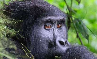 3 days gorilla trekking, muntain gorillas, gorilla trekking uganda, gorilla trekking tours, gorilla trekking uganda tours, 3 days uganda gorilla trekking, 3 days gorilla trekking uganda, 3 days gorilla trekking bwindi, bwindi gorilla trekking, gorilla tracking uganda, 3 days gorilla tracking uganda, 3 days gorilla tracking bwindi