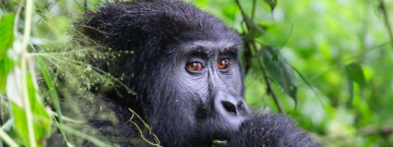 3 days gorilla trekking, muntain gorillas, gorilla trekking uganda, gorilla trekking tours, gorilla trekking uganda tours, 3 days uganda gorilla trekking, 3 days gorilla trekking uganda, 3 days gorilla trekking bwindi, bwindi gorilla trekking, gorilla tracking uganda, 3 days gorilla tracking uganda, 3 days gorilla tracking bwindi