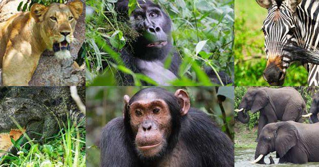 10 days uganda safari, 10 day uganda tour, 10 day uganda safari, 10 day itinerary uganda, zebra tours in uganda, birding safari in uganda, lake Mburo national park wildlife, the pearl of africa safari, Gorilla trekking tours uganda, gorilla trekks uganda, gorilla tracking in uganda, uganda wildlife tours, uganda wildlife safaris, best gorilla trekking, Uganda group tour, uganda group safaris, uganda group tours, Chimpanzee tracking in uganda