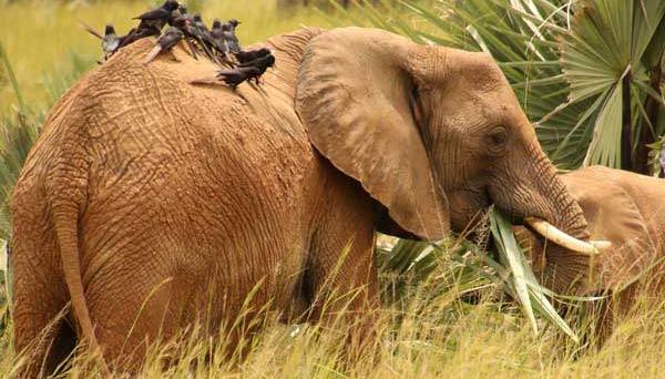 uganda rhinos, 7 days uganda tour, 7 days uganda safari, 7 day uganda safari, 7 days uganda safari gorillas and wildlife, uganda wildlife safari, uganda gorilla safari, uganda chimpanzee safari, gorilla and chimpanzee trekking uganda, gorilla trekking bwindi, chimpanzee trekking kibale, 7 day uganda itinerary, 7 day uganda tour itinerary, uganda elephants, big five animals, african big five